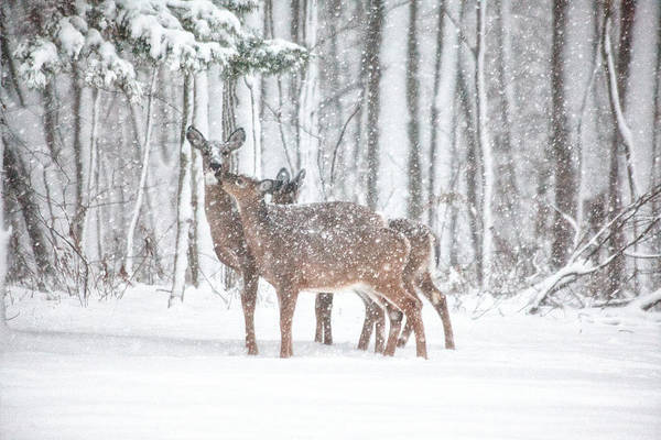 White Tailed Deer Photograph - Winters Love by Karol Livote