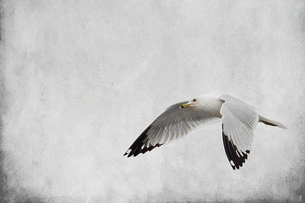 Photograph - Winter's Return - Wildlife - Seagull by Jai Johnson