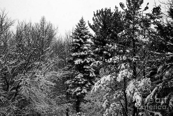 Photograph - Wintery Forest Pine by Frank J Casella