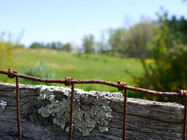 Photograph - Wire And Lichen by Richard Reeve