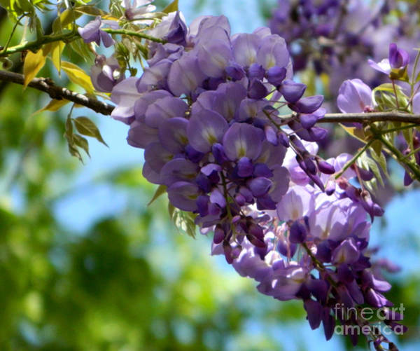 Photograph - Wisteria by Andrea Anderegg