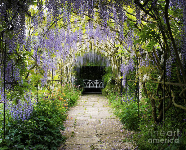 English Garden Photograph - Wisteria Archway  by Tim Gainey