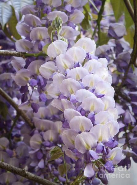 Wall Art - Photograph - Wisteria Blooms by Teresa Mucha