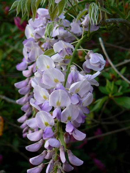 Photograph - Wisteria Blossoms by MM Anderson