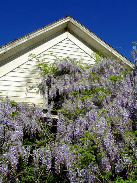 Wisteria Wall Art - Photograph - Wisteria Cascading by Everett Bowers
