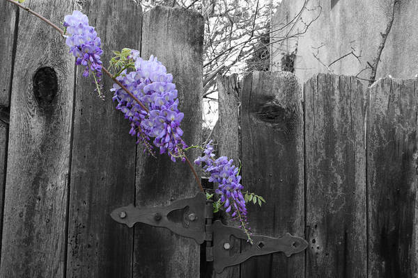 Hinges Photograph - Wisteria by Dylan Punke