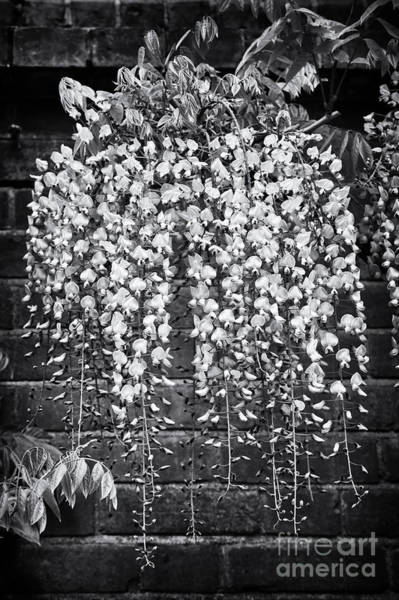 Wisteria Photograph - Wisteria Floribunda Kuchi Beni  by Tim Gainey