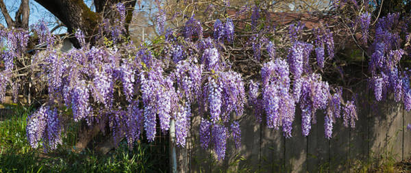 Wisteria Wall Art - Photograph - Wisteria Flowers In Bloom, Sonoma by Panoramic Images