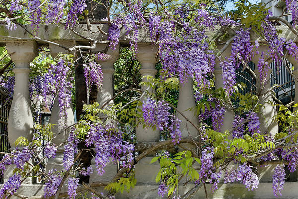 Wisteria Wall Art - Photograph - Wisteria Growing On Column Fence by Darrell Gulin