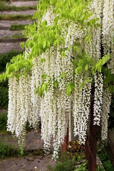 Wisteria Wall Art - Photograph - Wisteria Sinensis 'alba' In Flower by Bob Gibbons