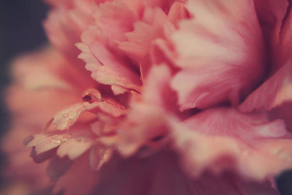 Carnation Photograph - With A Fluttering Heart by Laurie Search