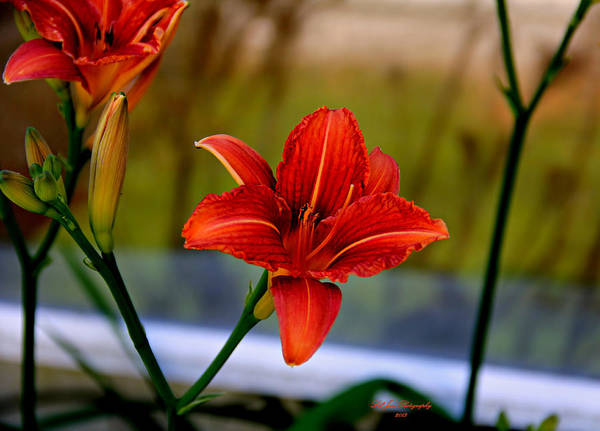 Tigerlily Wall Art - Photograph - With Open Arms by Jeanette C Landstrom