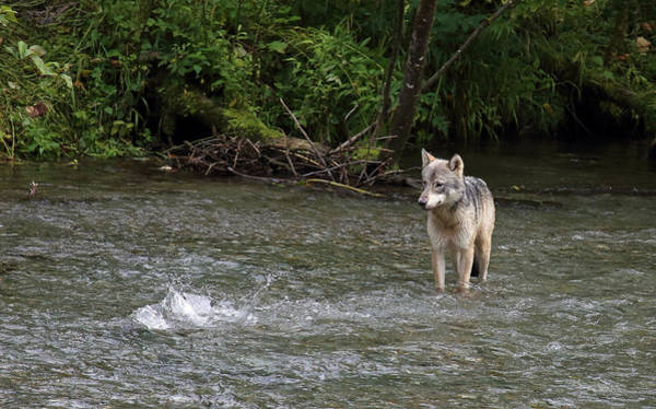 Photograph - Wolf At Fish Creek by Jean Clark