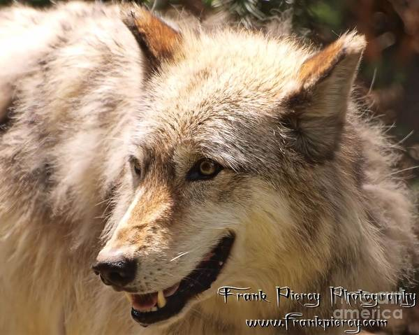 Wall Art - Photograph - Wolf Close Up by Frank Piercy