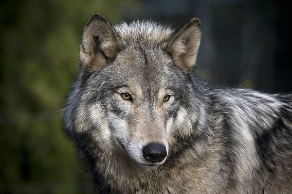Photograph - Wolf by Wes and Dotty Weber