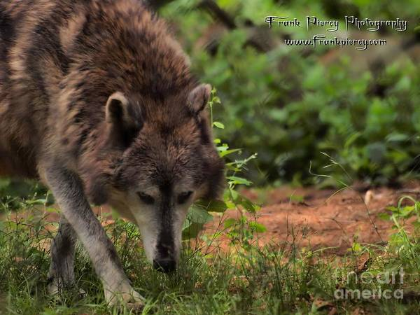 Wall Art - Photograph - Wolf by Frank Piercy