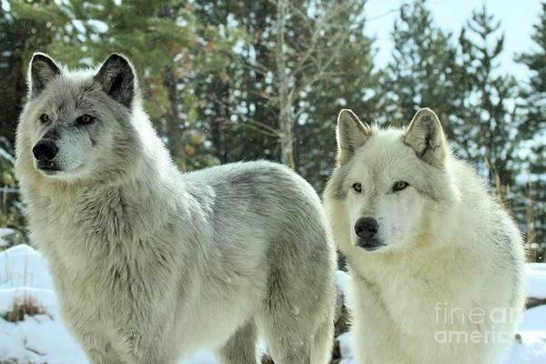 Photograph - Wolf Gaze by Adam Jewell