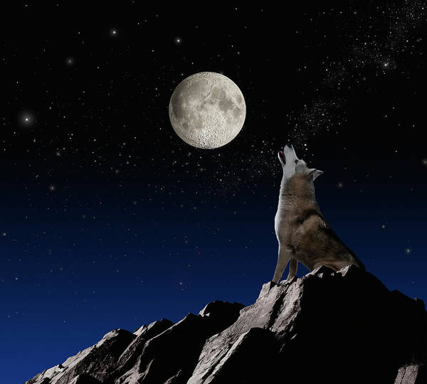 Howling Photograph - Wolf Howling At Moon by John Lund