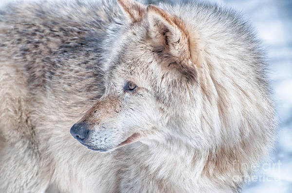 Timberwolves Photograph - Wolf In Disguise by Bianca Nadeau