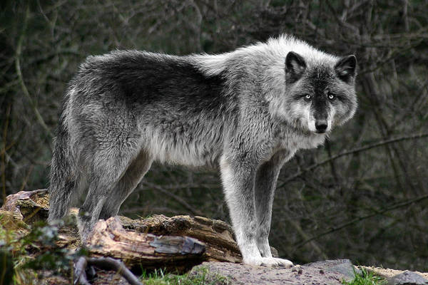 Photograph - Wolf Intensity by Wes and Dotty Weber