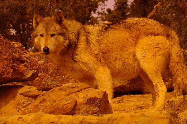 Wall Art - Photograph - Wolf by Jeff Swan