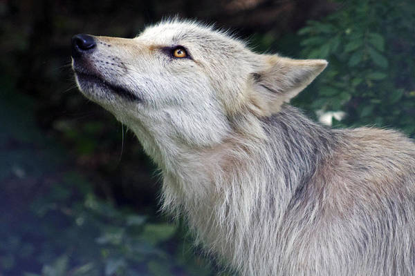 Photograph - Wolf by Lily K