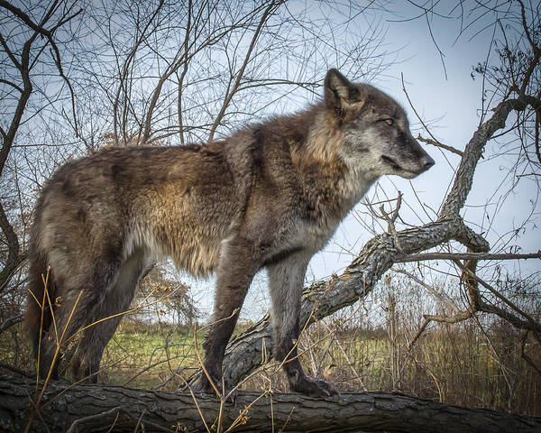 Photograph - Wolf Love by Jack R Perry