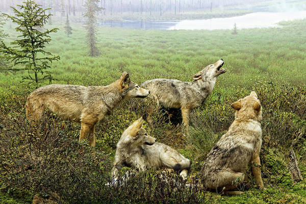 Howling Photograph - Wolf Pack by ©owen Bale