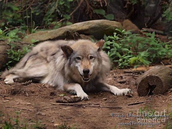 Wall Art - Photograph - Wolf Resting by Frank Piercy