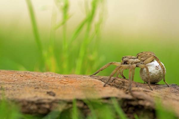 Arachnida Wall Art - Photograph - Wolf Spider (family Lycosidae) by Photostock-israel/science Photo Library