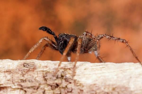 Arachnida Wall Art - Photograph - Wolf Spider by Heath Mcdonald