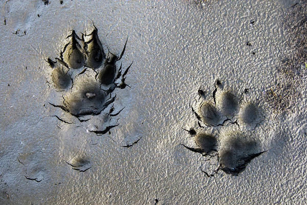 Arctic Wolves Photograph - Wolf Tracks In The Brooks Range Gates by Scott Dickerson / Design Pics