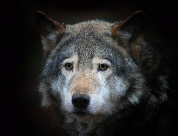 Photograph - Wolf by Vladimir Meshkov