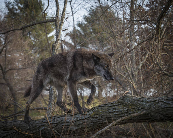 Photograph - Wolf Walk by Jack R Perry