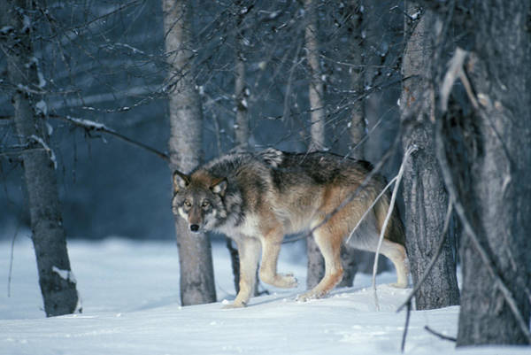 Wall Art - Photograph - Wolf Winter by Animal Images