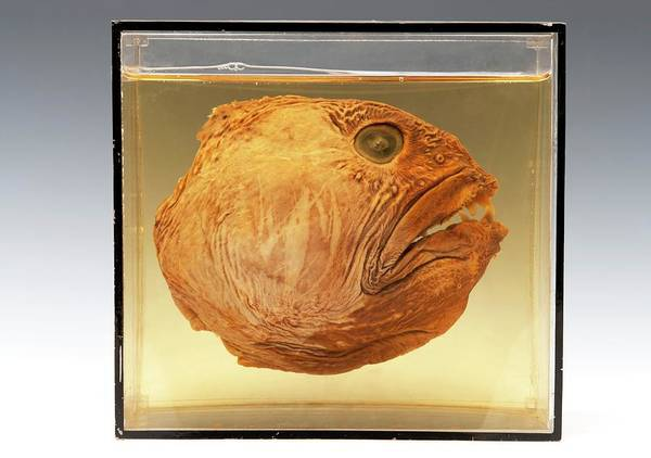 Preservation Photograph - Wolffish Head by Ucl, Grant Museum Of Zoology