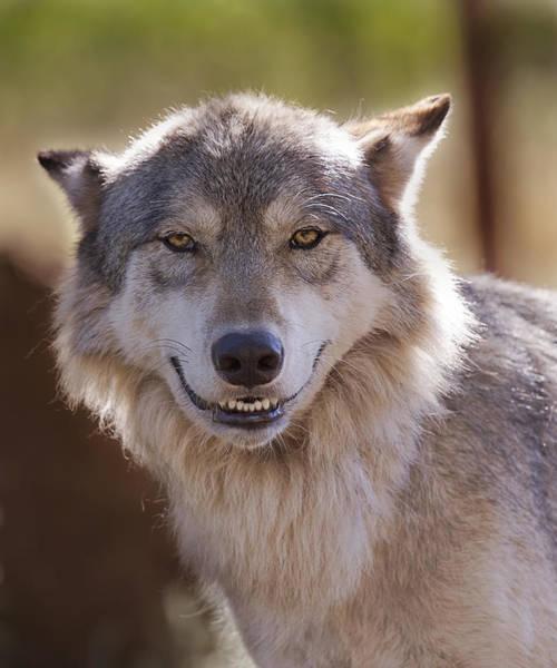 Wolf's Smile  Art Print
