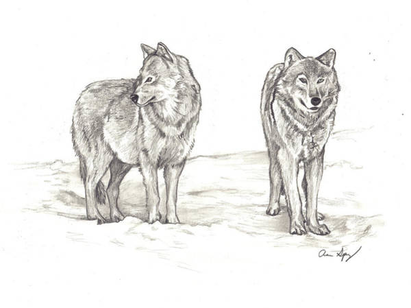 Drawing - Wolves by Aaron Spong