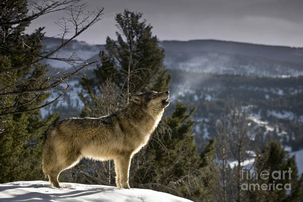Wall Art - Photograph - Wolves Nature Song by Wildlife Fine Art