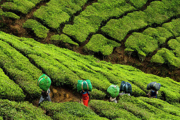 Kerala Photograph - Woman Carrying Tea Harvest by Picturegarden