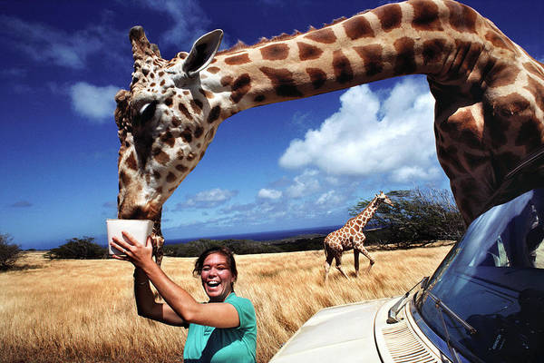 Feed Me Photograph - Woman Feeding A Giraffe by Peter Menzel/science Photo Library