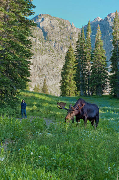 Bull Moose Photograph - Woman Watching Bull Moose, Albion by Howie Garber