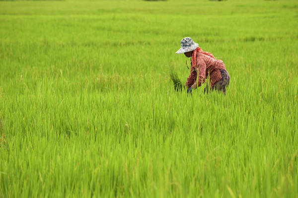 Myanmar Photograph - Woman Working In Field, Kengtung, Shan by Cultura Rm Exclusive/yellowdog