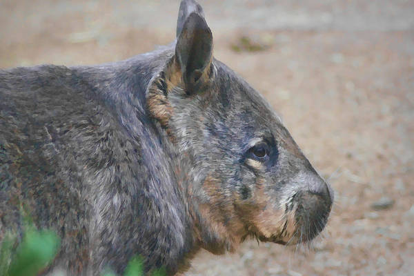 Digital Art - Wombat Profile by Photographic Art by Russel Ray Photos