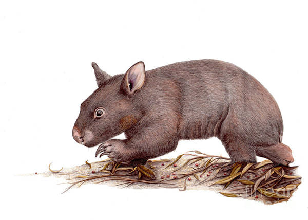 Wombat Walk Art Print by Susan Pope