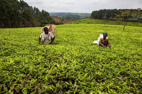 Candid Photograph - Women Tea-pluckers Work On A Tea Estate by Simon Rawles