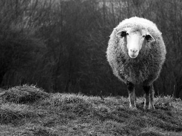 Field Photograph - Wondering Sheep by Ajven