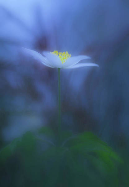 Wall Art - Photograph - Wood Anemone by Allan Wallberg