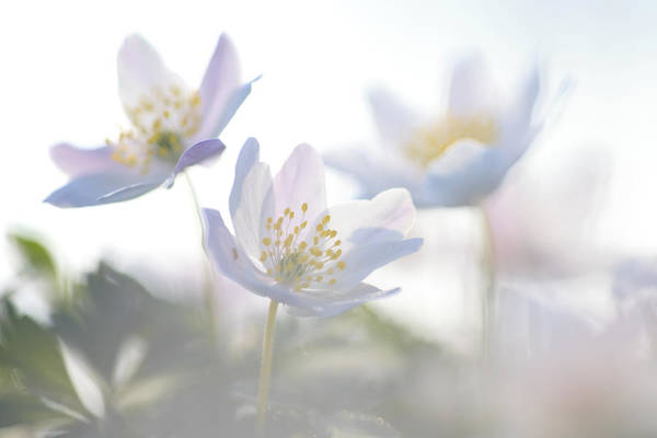 Photograph - Wood Anemone Flowers Netherlands by Heike Odermatt