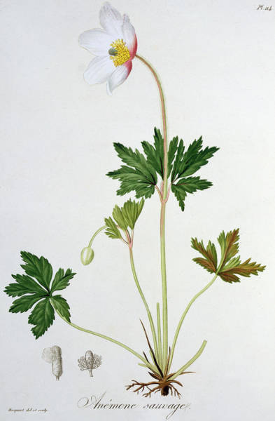 Plant Reproduction Painting - Wood Anemone by LFJ Hoquart